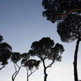 Vanvittig høje pinje træer