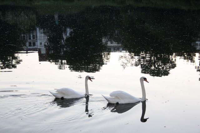2 svaner på søen    Foto: Charli