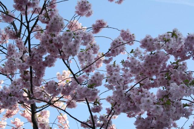 Blossoms spring   Foto- Charli