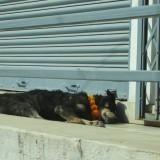 Velsignede hunde med Divali blomsterkrans      Photo: Charli