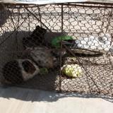 Bemærk, et marsvin, en due og 3 dyr i samme bur    Photo: Charli