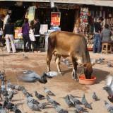 En hellig ko, som alle fodrer med glæde   Photo: Charli