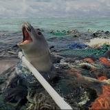 Sæl fanget i fiskers ligegyldighed